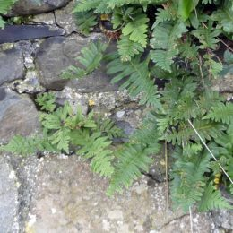 Common Polypody -Polypodium vulgare