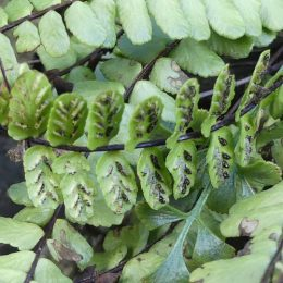 Maidenhair spleenwort sori