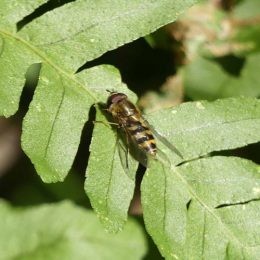 190226-BE (13)-Hoverfly on polypody fern