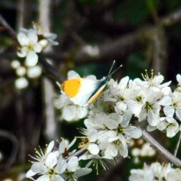 April - Orange tip male on Blackthorn