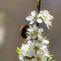 April - Tawny mining bee (f) on Blackthorn