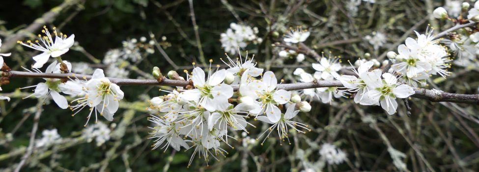 A Blackthorn Winter