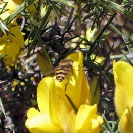 190324-BE (163)-Hoverfly on Gorse