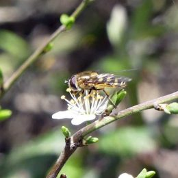 190324-BE (175)-Hoverfly on blackthorn