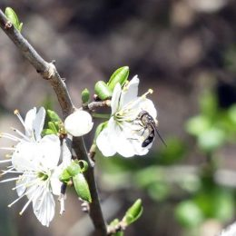 190324-BE (176)-Tiny hoverfly on blackthorn