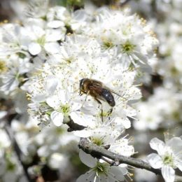 190324-BE (194)-Eristalis hoverfly on blackthorn