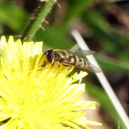 190324-BE (216)-Hoverfly on dandelion
