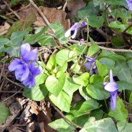 190324-BE (25)-Dog violets