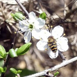 190324-BEWT (35)-Hoverfly on Blackthorn