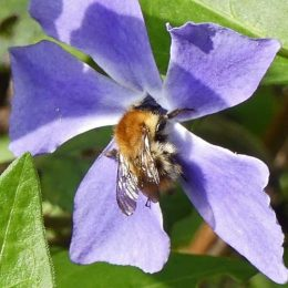 Carder Bee on periwinkle