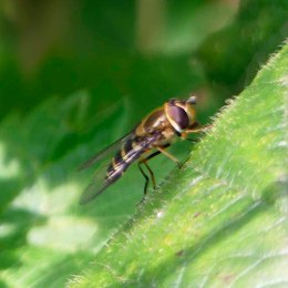 One of many similar hoverflies
