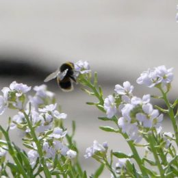 190815-LLWS- (114)-Bumblebee on Sea Rocket flower