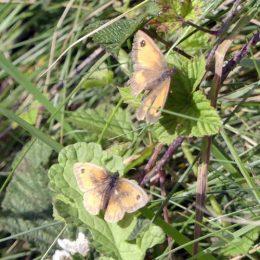 190815-LLWS- (154)-Gatekeeper butterflies