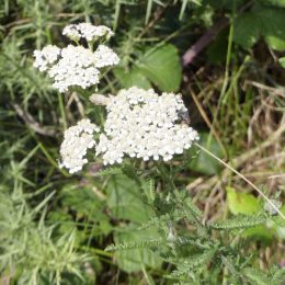 190815-LLWS- (157)-Yarrow with flies