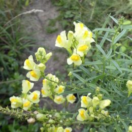 190815-LLWS- (167)-Toadflax flowers