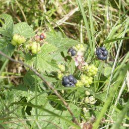 Dewberry-Rubus caesius-fruit