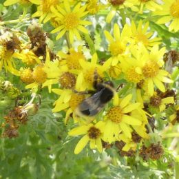 190815-LLWS- (20)-Buff-tailed Bumblebee on ragwort