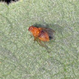 Muscid Fly - Phaonia palida