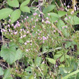 Common Centaury-Centaurium erythraea