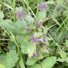 Wild Basil-Clinopodium vulgare