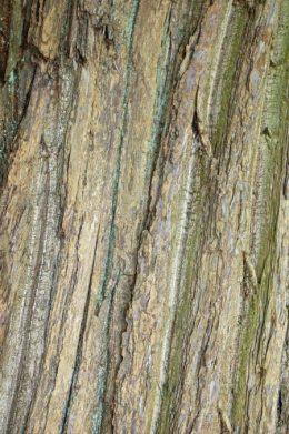 Bark of an old Sweet Chestnut tree