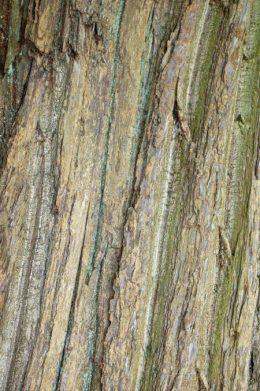 Bark of an old Sweet Chestnut tree