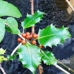 191027-CWBPWLL- (145s)-holly with berries