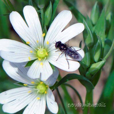 200323-1208-BEWP- (148s)-Platycheirus albimanus (f)