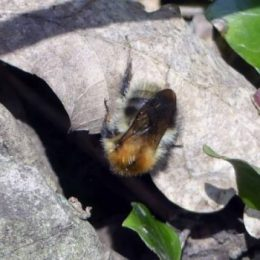 Bombus pacuorum-Common Carder Bee (queen)