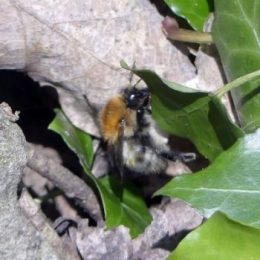 Bombus pascuorum-Common Carder Bee queen