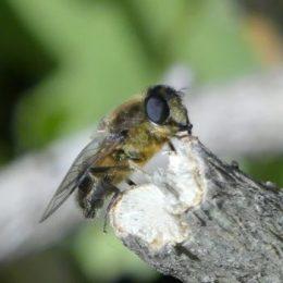 Hoverfly-Eristalis pertinax (f)