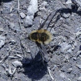 Bee-fly-Bombylius major