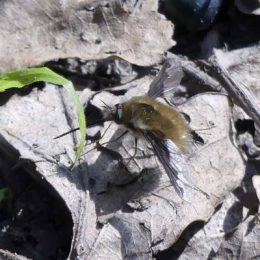 Bee-fly Bombylius major