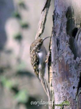 200325-1235-BEWP-(175s)-Treecreeper
