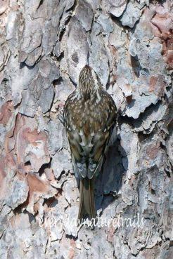 200325-1236- BEWP-(178s)-Treecreeper
