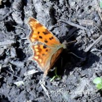 MAR23/20-Bryn Euryn woodland path