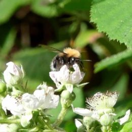 Faded Tree Bumblebee