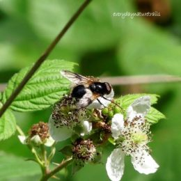 Gt Pied Hoverfly-Volucella pellucens