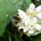 200615-1126-BEWT (122b)-Bumblebee no id