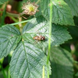 Marmalade Fly-Episyrphus bateatus