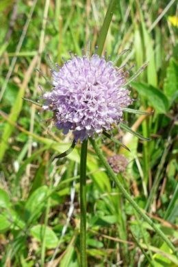 Field Scabious-Knautia arvensis-Clafrillys y maes