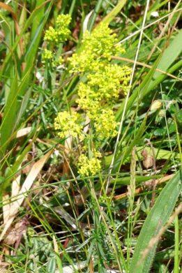 Lady's Bedstraw-Galium verum-Briwydd felen