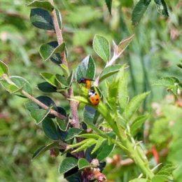Rose Sawfly & 7-spot ladybird