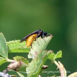 Rose Sawfly-Arge Pagana