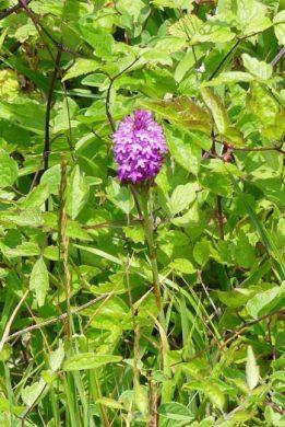Pyramidal Orchid-Anacamptis pyramidalis