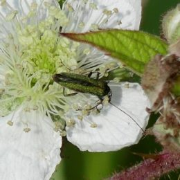 Swollen-thighed beetle (female)