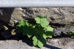 Leaves of Tree Mallow