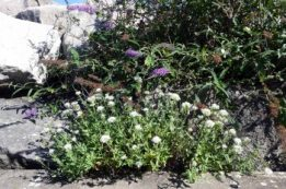 Buddleia and White Valerian
