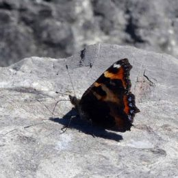 200806-1042-ROSRP-Tortoiseshell on rock 1