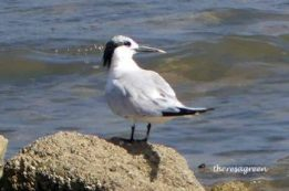 Sandwich Tern (adult)